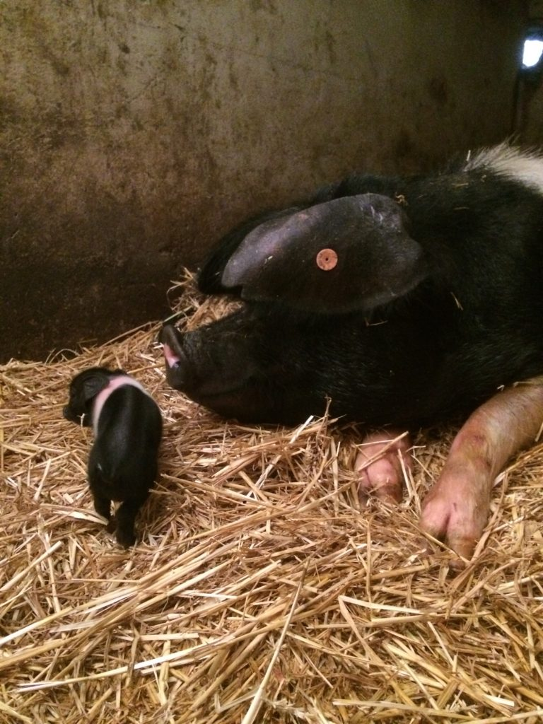 Morwena with one of her piglets
